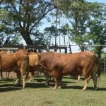 Copia de Limousin 322