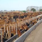 Novillos Limousin en FeedLot