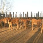 Terneros Limousin