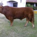 Toro Limousin Saltamontes 2
