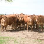 Toros Limousin 2