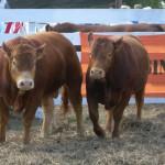 Toros Limousin 3