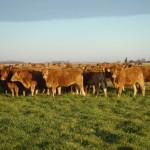 Vaquillonas Limousin